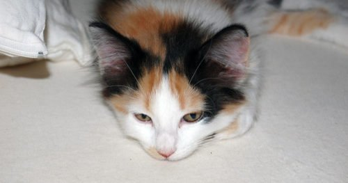 What Color Was My Calico Kitten's Father?