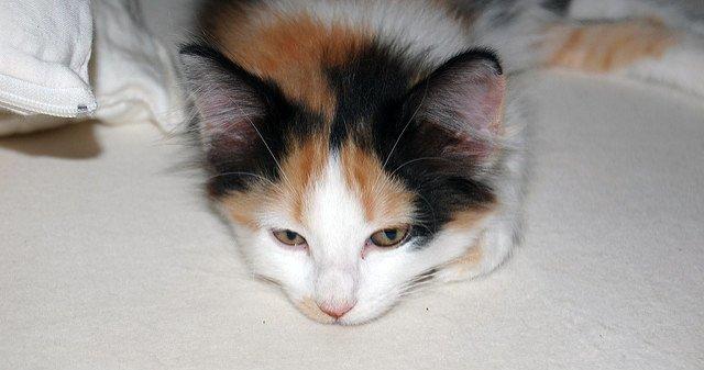 A calico kitten. Photo CC-BY Jon Chapman