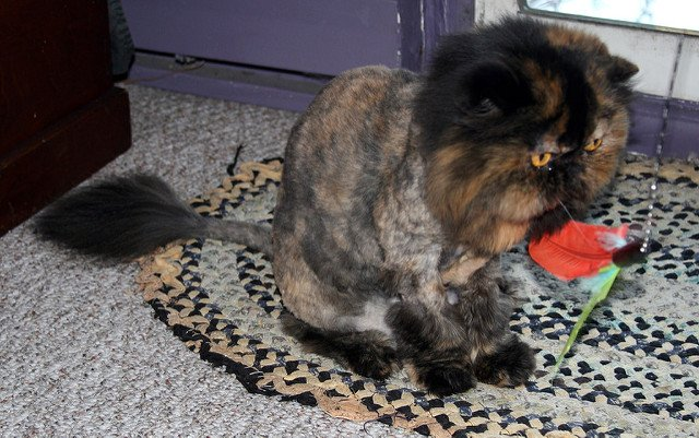 A tortoiseshell Persian cat with a lion cut