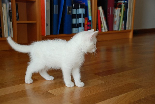 A tiny white kitten standing on a wooden floor