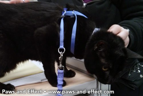 How Do I Train My Cat to Use a Leash and Harness?