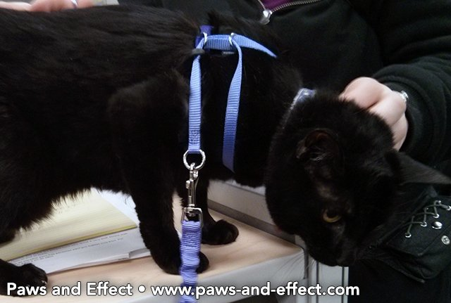 A black cat in a leash and harness.