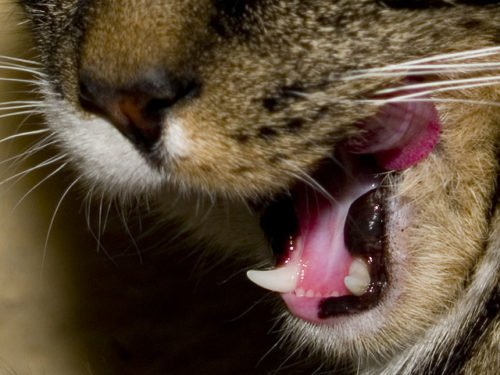 I Can't Afford to Treat My Cat's Dental Disease. Help!
