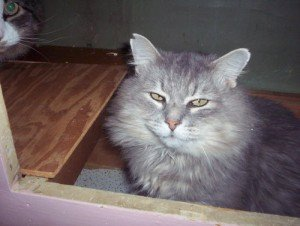 Gilbert Gustav, a beautiful Maine Coon mix, is waiting for that special person. Could it be you?