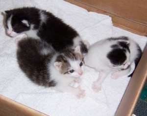 Three kittens, aged 20 days.
