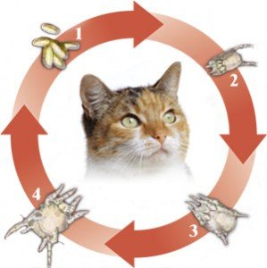 A graphic representation of the ear mite life cycle