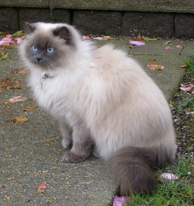 Himalayan cat photo by Vladimir Menkov. Image licensed under the Creative Commons Attribution-Share Alike 3.0 Unported license.