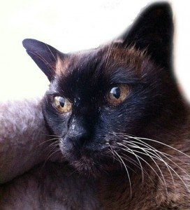 20-year-old Siamese cat