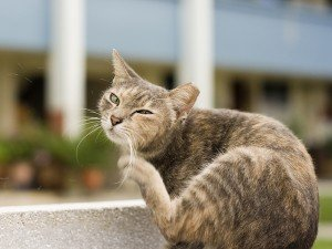 An ear-tipped feral cat scratches an itch.