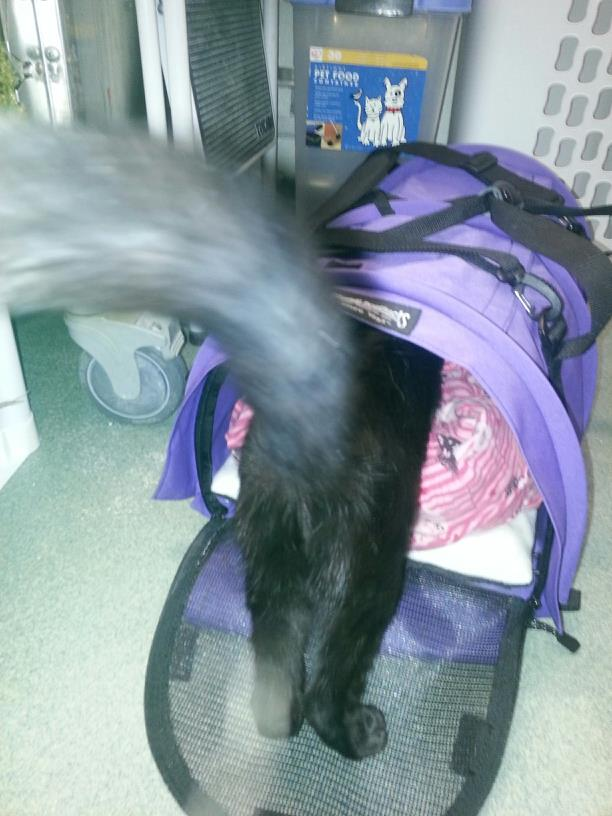 Bella hops into the carrier.