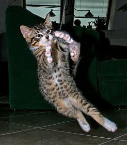 cat-in-mid-leap-playing-with-toy
