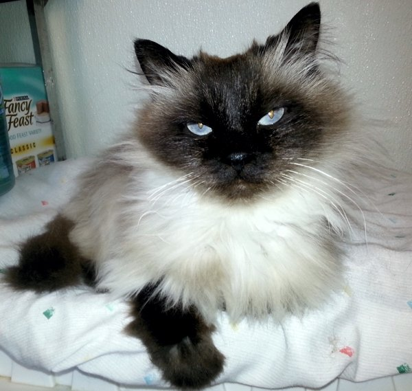Claire, a purebred Himalayan available for adoption at HART of Maine