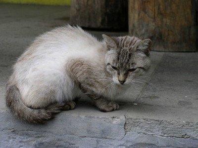 Siamese-tabby cat hybrid, (CC-BY-SA) by Alex Zelenko