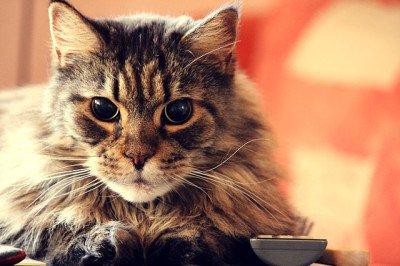 Blind Maine Coon Cat named Klara