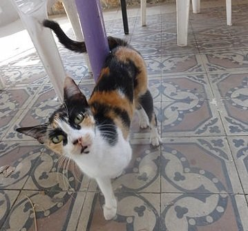 Calico cat winding her tail around a post.