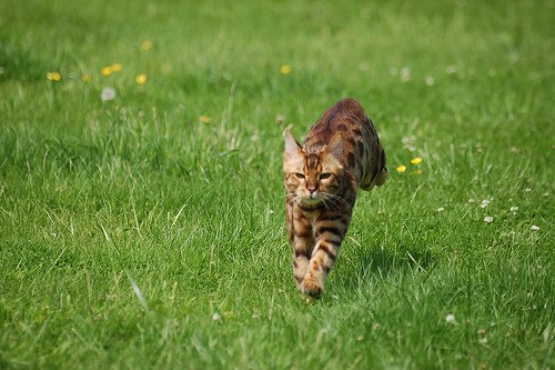 Running Bengal cat, CC-BY Roberto Shabs