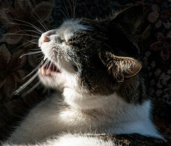tabby cat sneezing in the sunlight