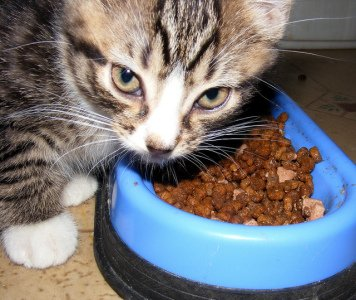 A kitten looks up from a bowl of food