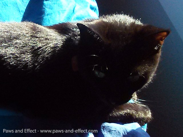 Bella in a sun puddle, a black cat with ghostly red tabby stripes showing