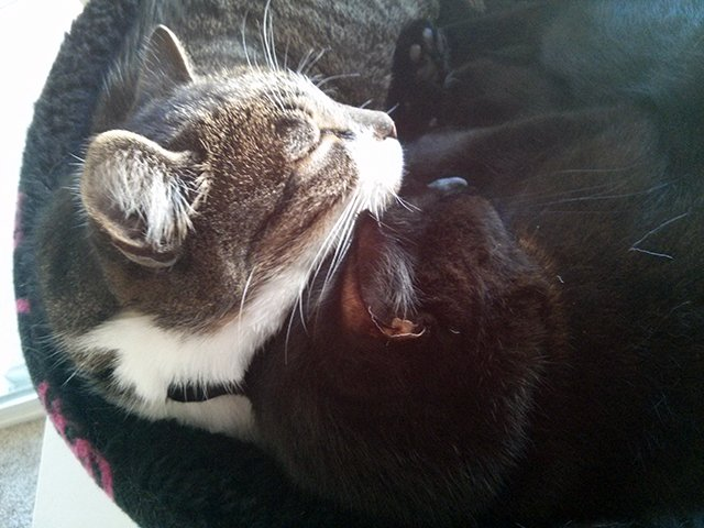 Close-up of a black cat and a tabby cat snuggled together in a bed.