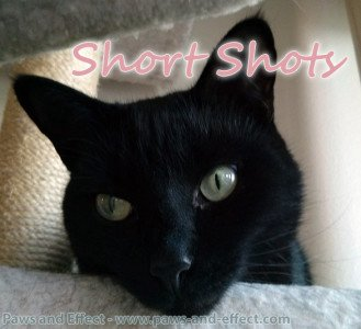 "Belladonna on her cat tree with the words ""Short Shots"" superimposed in the upper right corner"