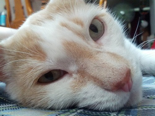 An orange and white cat on the floor, head shot, with eyes half open.
