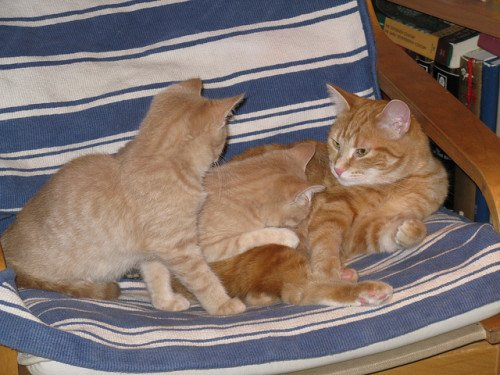 An orange tabby adult cat plays with two buff-colored kittens.
