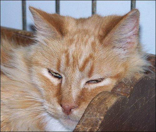 A big orange cat