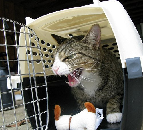 A cat in a carrier, hissing