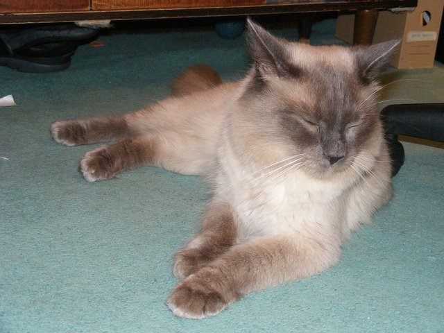 A seal-point Himalayan cross kitten lies on a turquoise floor