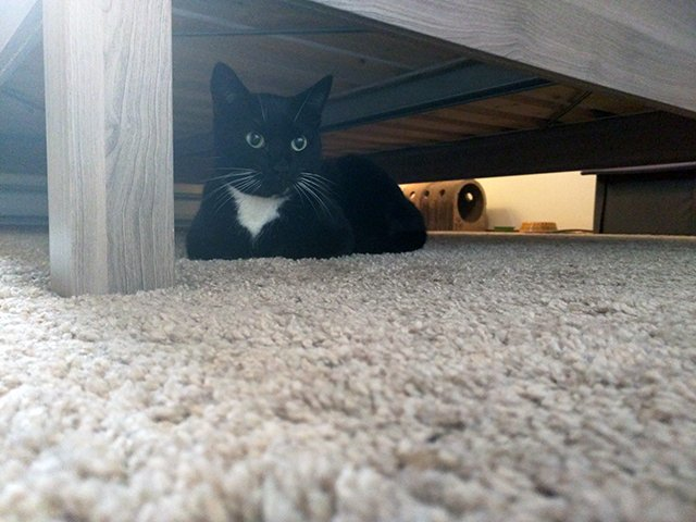 A tuxedo cat rests under a bed.