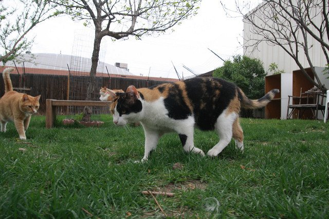 A confident cat walks across a grass lawn with two orange cats in the background.