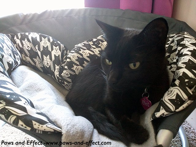 Belladonna, a black cat, in a cat bed