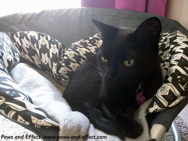 Belladonna, a black cat, in a cat bed