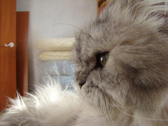 A gray Persian cat in profile