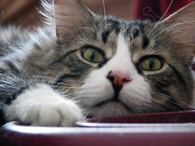 A close-up of a longhaired tabby cat playing with a toy.