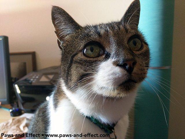 Portrait of a tabby cat. #AskYourVet about a new test for feline kidney disease.